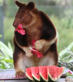 Tree Kangaroo.. I didn't even know these things exisited. Lol He looks mad.. And kind of mean..