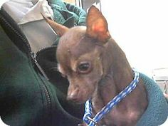 Downey, CA - Chihuahua Mix. Meet BEAR a Dog for Adoption.