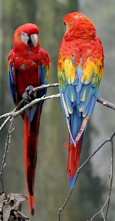 These two are Scarlet Macaw's. They get to be about 3 feet tall, from tail tip to top of their head.
