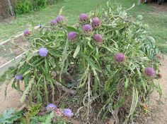 http://natural-gardener.com/ - Artichokes can be produced from seeds or from vegetative means such as division, root cuttings or micropropagation. Though technically perennials that normally produce the edible flower only during the second and subsequent years, certain varieties of artichoke can be grown from seed as annuals, producing a limited harvest at the end of the first growing season, even in regions where the plants are not normally winter-hardy.