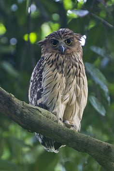 Buffy Fish-owl Adult