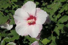 Hibiscus syriacus 'Pinky Spot'- altheastruik, heester voor volle zon, kan tot 2 m. hoog worden bloeit lang juli-sept. Bloemknoppen zijn eetbaar.