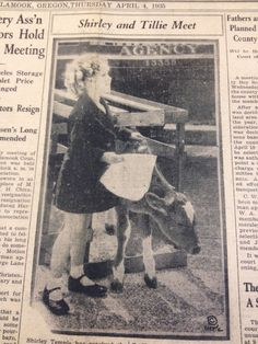 Shirley Temple, Tilly the calf ... gift from children of Tillamook, Oregon for her 9th birthday ... a Guernsey (though articles says a Jersey) .. Headlight-Herald newspaper, April 4, 1935