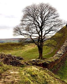 Reposting @ganninallowa: Have you seen Robin Hood? Well this is the Sycamore Gap which features in it! It's quite a long !   #follow4follow