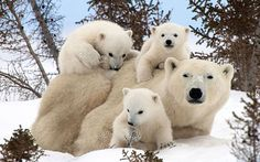 Polar family: A lucky photographer has managed to photograph these adorable images of the playful first moments in the lives of young polar bear cubs in Manitoba, Canada... Picture:  Thomas Kokta/Caters