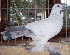 Muffed Ice Pigeon