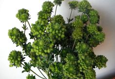 Green Magical - Eryngium - Flowers and Fillers - Flowers by category | Sierra Flower Finder