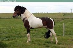 Icelandic Horse - stallion Karri frá Neðra-Seli