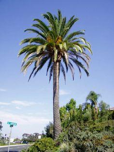 Canary Island Date Palm - Phoenix canariensis