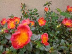 Verdolaga, flores para la Virgen, mi jardin