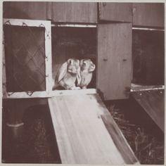 """Spala 1912"" Dois coelhos amigáveis"