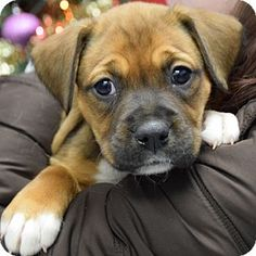 Huntley, IL - Boxer/American Staffordshire Terrier Mix. Meet Ruby, a puppy for adoption. http://www.adoptapet.com/pet/17242347-huntley-illinois-boxer-mix