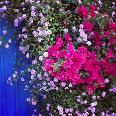 A climbing #Bougainvillea makes a lovely addition to any #home #exterior.