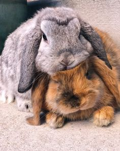 Happy Bunny Club is the monthly subscription box for rabbits, packed full of toys, treats and guaranteed fun! Suitable for guinea pigs and small animals too! Cute Bunny Pictures, Baby Animals Pictures, Cute Little Animals, Cute Funny Animals, Fluffy Animals, Animals And Pets, Cutest Bunny Ever, Cute Baby Bunnies, Cute Creatures