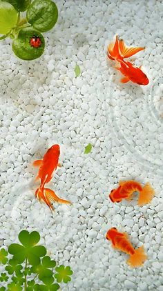 48214477 Goldfish wallpaper image by Claudia Murillo on Español Fish Background, Flower Background Wallpaper, Flower Phone Wallpaper, Cellphone Wallpaper, Flower Backgrounds, Background Images, Stone Wallpaper, Beach Wallpaper, Colorful Wallpaper