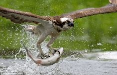Miguel Lasa, 49, spent four summers in Finland pursuing perfect pictures of ospreys in action.