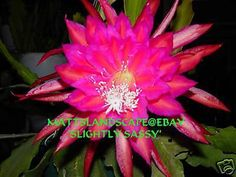 Epiphyllum hybrid 'Slightly Sassy'