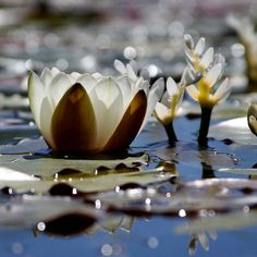 Water Lilies and Light by tinyfroglet, via Flickr