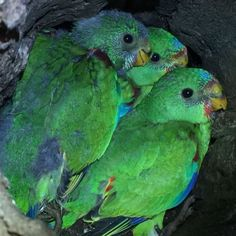 Crucial southern Tasmania breeding grounds for the critically endangered swift parrot have been destroyed by illegal firewood cutters.