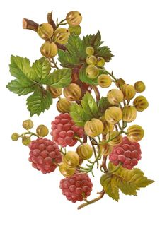 Free vintage berries clipart — Mammasaurus