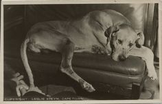 Great Dane Dogs, Royal Navy, Cape Town, Pets, Quotes, Animals, Dog Types, Big Dogs, Great Danes