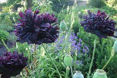 Black Peony Poppy Seeds (Papaver Paeoniflorum Poppies)