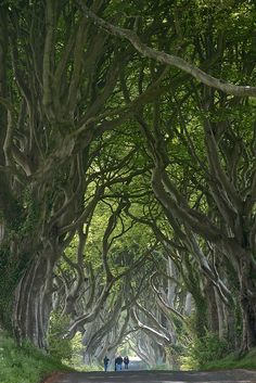 The Dark Hedges, Co. Antrim, Northern Ireland, UK