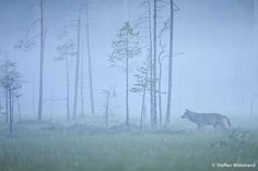 Eurasian Wolf, Kuhmo, Finland Staffan Widstrand / Wild Wonders of Europe Eurasian Wolf, Winter Scenery, Midnight Sun, Natural Wonders, Amazing Nature, Places To See, Norway, Tourism, Beautiful Places