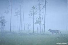 Wild Wonders of Europe - The Blog! » Blog Archive » Staffan Widstrand - Finland 02