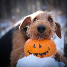 14 Incredible Reasons To Love Airedale Terriers Welsh Terrier, Airedale Terrier, Terriers, Terrier Puppies, Worms In Dogs, Wood Dog, Baby Dogs, Doggies, Dog Life