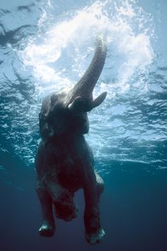 Incredible Underwater Photo of an Elephant Swimming in the Andaman Islands.