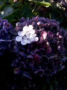 Zilveren toef uit de hortensia hopcorn.