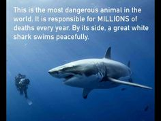 This is the most dangerous animal in the world. It is responsible for MILLIONS of deaths every year. By its side, a great white shark swims peacefully. Jacqueline Fernandez, Scuba Diving Quotes, Shark Swimming, Dangerous Animals, Great White Shark, All Nature, Shark Week, Reality Check, Animals Of The World