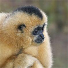 Female Yellow-cheeked Gibbon