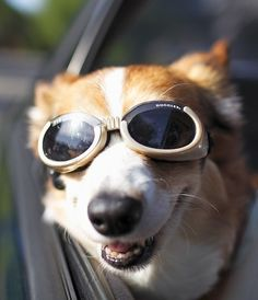 Doggles - I'm getting these for my Beagle!  I just started letting her put her head out the window and these will be great eye protection.    Extra wide nose bridge. Deep lens cup. Padded and flexible rubber frame. Soft elastic adjustable head and chin straps. 100% UV protection. Anti-fog. Shatterproof.    Small: Breed example: Beagle, Westie   Medium: Breed example: Dalmation, Border Collie   Large: Breed example: German Shepherd, Labrador Retriever