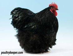 Black Orpington Male