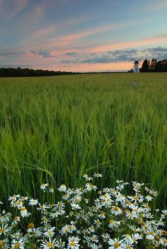 Field and flowers, Estonia
