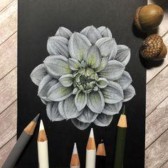 Иллюстрация цветными карандашами на черной бумаге Colored pencils illustration on black paper ботаническая иллюстрация Botanical illustration цветы flowers