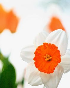 spring daffodil orange decor by Carl Christensen