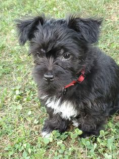 Lancaster Puppies makes it easy to find healthy puppies from reputable dog breeders across Pennsylvania, Ohio, and more. Morkie Puppies, Lancaster Puppies, Poodle Mix, Homemade Dog Treats, Puppies For Sale, Chihuahua, Dog Lovers, Easy, Dogs