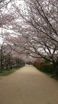 Sakura road2