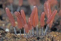 Slime Mold - Stemonitopsis typhina