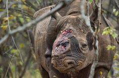 Thanks again China!!!!! Game scouts found this black rhino bull wandering Zimbabwe's Savé Valley Conservancy after poachers shot it several times and hacked off both its horns. Veterinarians had to euthanize the animal because its shattered shoulder couldn't support its weight. In the past six years poachers have killed more than a thousand African rhinos for their horns, which are smuggled to Asia for use in traditional medicines.