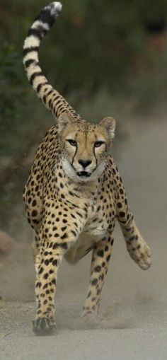 Cheetah in Action.