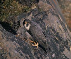 peregrine falcon (falco peregrinus tundrius) at nest, Alaska