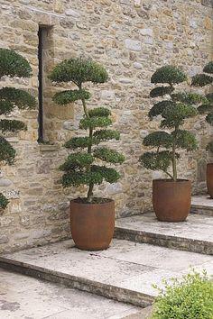 Mooie gesnoeide bomen in potten