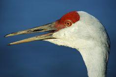 Sandhill Crane, Grus Canadensis with Beak Open in Call ...
