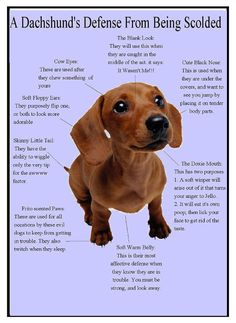My Edie is a Dachshund mix but this fits her very well! From DREAM Dachshund Rescue on Facebook.