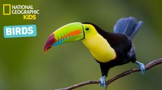 Keel-billed Toucan in Costa Rica - tucano - uccelli Tropical Birds, Exotic Birds, Colorful Birds, Colorful Animals, Pretty Birds, Beautiful Birds, Animals Beautiful, Beautiful Creatures, All Birds