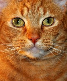I love big orange tabby cats. This one looks just like my own.